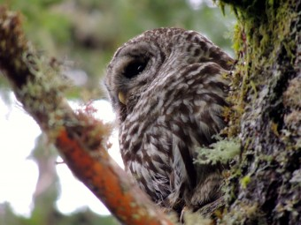 Spotted owl 2014