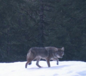 We captured this image of a coyote with a camera trap in 2012.