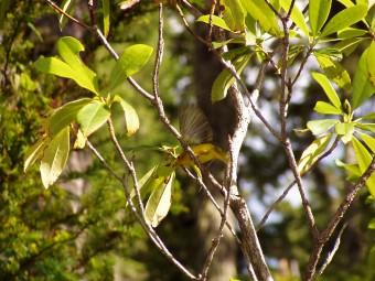 A warbler taking wing.