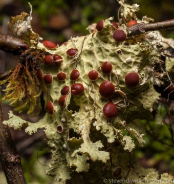 Lichen, Opal Creek Ancient Forest Center, Oregon